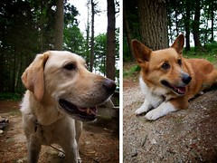The Dogs (Jack Amick) Tags: ocean camping trees dogs water yellow forest island corgi woods lab maine olympus freeport ep1 918