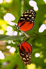 R rated butterfly photography (kees straver (will be back online soon friends)) Tags: flowers orange flower macro green nature colors yellow closeup canon butterfly painting insect photography zoo photo wings upsidedown bokeh details ngc butterflies leafs vlinder kleuren vleugels justhangingaround canoneos5dmarkii keesstraver