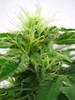 Cannabis Indica - Flower (farmer dodds) Tags: flower cannabis hemp entheogen indica cannabaceae cannabisindica
