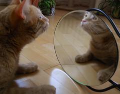 Lucky and the mirror2 (*Gitpix*) Tags: pet cute animal cat mirror tiere furry nikon kitten feline spiegel gatos lucky coolpix gata felines animales katze gatto haustier kater tier