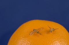 Exotic Fruit Flies