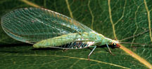 Green_lacewinged_adults