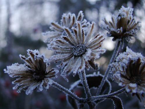 Frostflowers