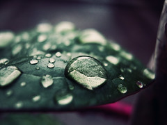 Clarity of mind means clarity of passion, too; this is why a great and clear mind loves ardently and sees distinctly what he loves. - Blaise Pascal (Gilbert Rondilla) Tags: camera plants plant color macro nature water up rain horizontal closeup photoshop garden dark point photography photo droplets leaf drops close philippines gilbert filipino digicam notmycamera own pinoy borrowedcamera pns rondilla notmyowncamera canona480 gilbertrondilla gilbertrondillaphotography luisianian gettyimagesphilippinesq1 sibsphoenix
