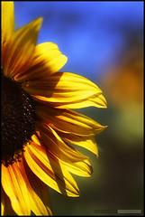 Terra Nova Sunflower