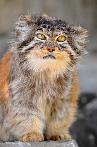フリー写真素材, 動物, 哺乳類, ネコ科, 猫・ネコ, マヌルネコ,