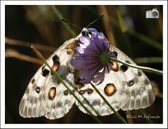 Parnassius apollo – Lista roja de especies amenazadas