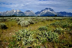 The Grand Tetons (suetry) Tags: blue mountains landscape wildflowers wyoming grandtetons nationalparks