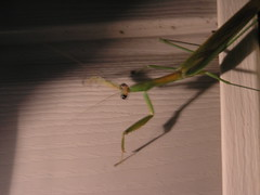 Praying Mantis (78spacecadet) Tags: mantis praying