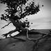 Gnarled Tree, black and white