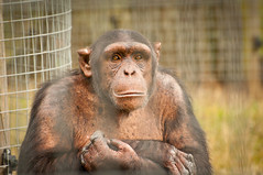 I wish I weren't in this cage! (Lee in York) Tags: delete10 delete9 delete5 zoo delete2 nikon chimp delete6 delete7 delete8 delete3 delete delete4 save chimpanzee nikkor 70300mm vr whipsnade d90 zsl deletedbythehotboxuncensoredgroup