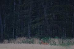 Rbock (Lars-Olof Sandberg) Tags: skne sverige roedeer capreoluscapreolus rdjur
