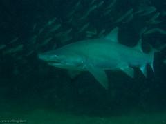 Grey Nurse Shark (richard ling) Tags: shark underwater au australia scuba diving nsw maroubra carcharias sandtigershark chordata elasmobranchii carchariastaurus greynurseshark lamniformes mackerelshark odontaspididae magicpointmaroubransw