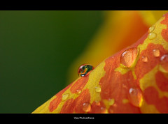 Rain drops.. (Vijay..) Tags: flower macro reflection colors canon bokeh smooth drop dew arry raynox explored ef70300 dcr150