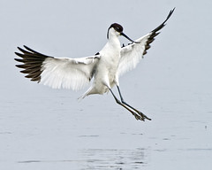 Avocet Landing (Andrew H Wildlife Images) Tags: bird nature wings wildlife norfolk feathers nwt avocet cleymarsh canon7d ajh2008