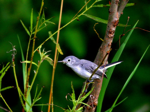 Blue-gray Gnatcatcher 20100818