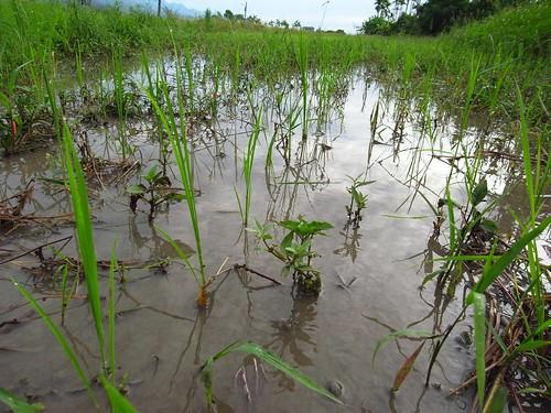 鳳林自然農田2010第2期插秧