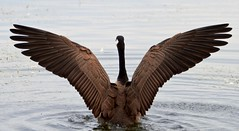 stick 'em up (Chandler Photography) Tags: morning nature water outdoors action upstate goose cayugalake ithacany tompkinscounty wingspread canonef70200mmf28l impressedbeauty fingerlakesofnewyork