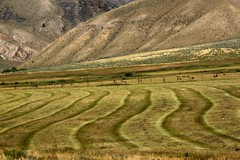 Harvesting and cutting hay (Mysophie08) Tags: ranch montana rows hay harvesting bigmomma thechallengegame challengegamewinner thechallengefactory herowinner pregamewinner gamesweepwinner bigsheepcreekscenicbyway