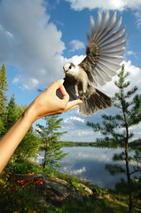 Feeding the Grey Jay (just zis guy, you know) Tags: lake canada bird forest feeding greyjay skynature justpentax pentaxart