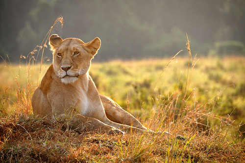 LightedLioness