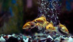 5 seconds (recaptured) Tags: fish water yellow night prime aquarium golden interestingness rocks goldfish stones f14 sigma bubbles pebbles explore 30mm magicdonkey explored onepointfour