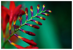 Contrasts. (Lilou777) Tags: red summer orange flower macro green art nature yellow contrast photography nikon colorful close purple vivid lilac bloom colourful d80