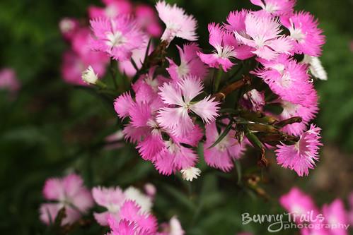 236-pink dianthus