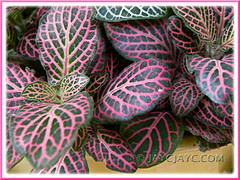 Pink-veined foliage of Fittonia albivenis (F. verschaffeltii var. argyroneura), cultivar unknown