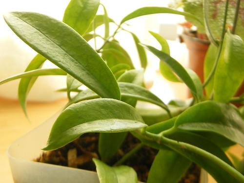 Hoya chlorantha pits 02