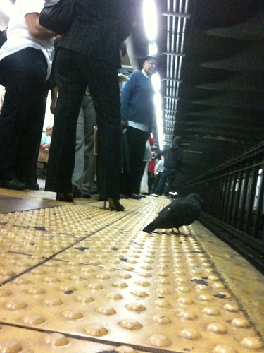 Pigeon Waiting for Uptown 6 Train