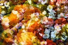 Multiple Nature 150 (Fleur) (pni) Tags: uk blue red england flower color colour detail green nature yellow bath unitedkingdom somerset petal multipleexposure tripleexposure muted multiexposure skrubu pni uk10 pekkanikrus