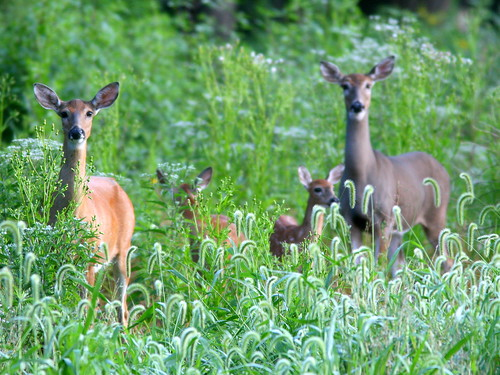 Four Deer 20100826