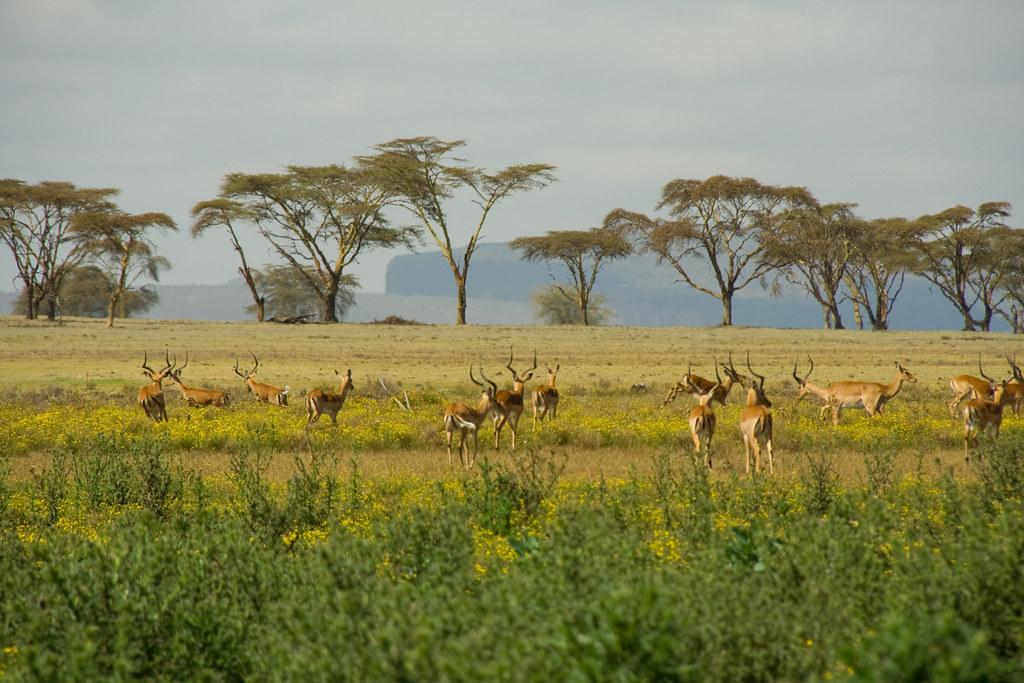 Impalas - Crescent Island, Lake Naivasha, Kenya