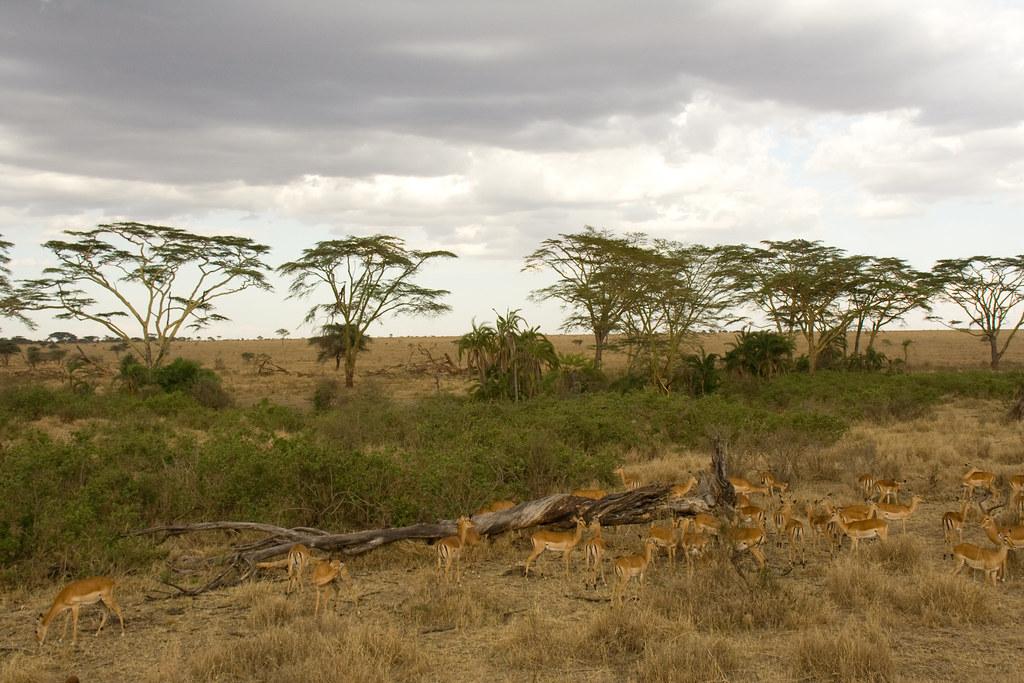 Impalas - Serengeti National Park, Tanzania