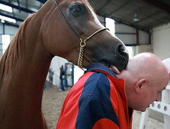 "towerlands undercover police horse nabs ""alleged"" villain! (pg tips2) Tags: show summer horses horse international arab ponies arabian aug 2010 equus arabs arabians  equines towerlands arabhorse arabhorses  ukiahs"