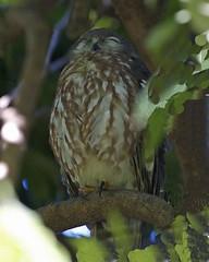 Barking Owl (Ninox connivens) (Lip Kee) Tags: barkingowl ninoxconnivens ninoxconnivenspeninsularis