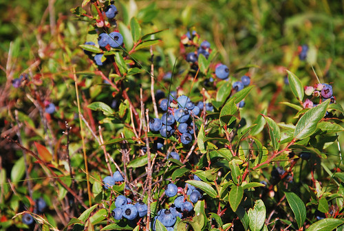 Blueberries - Ready to Pick