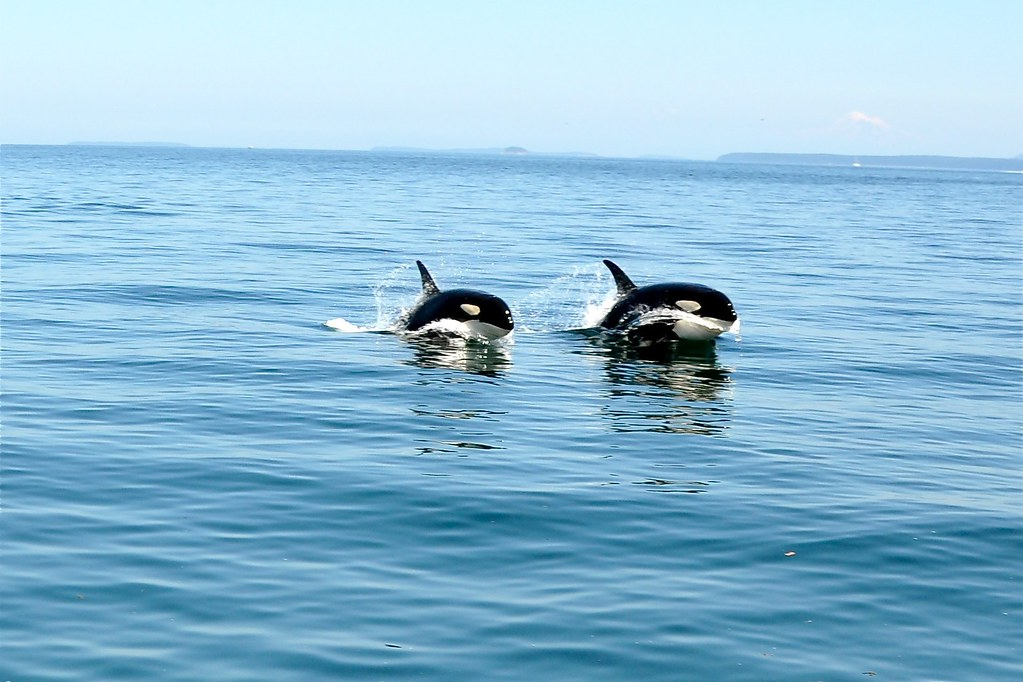 Whales swimming (porpoising) in unison. Thanks for the picture Kristin!