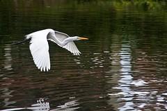 DR_Waterfowl_2010_SGT08 (SGT Pics) Tags: birds dr puntacana egrets greategrets