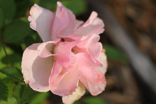 Greg's Rose
