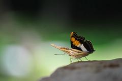 017 Tximeleta bat Yaxchilanen (Mr. Theklan) Tags: butterfly mexico mr mariposa yaxchilan tximeleta pinpilinpauxa ltytrx5 superaplus aplusphoto ltytr1 theklan flickrestrellas