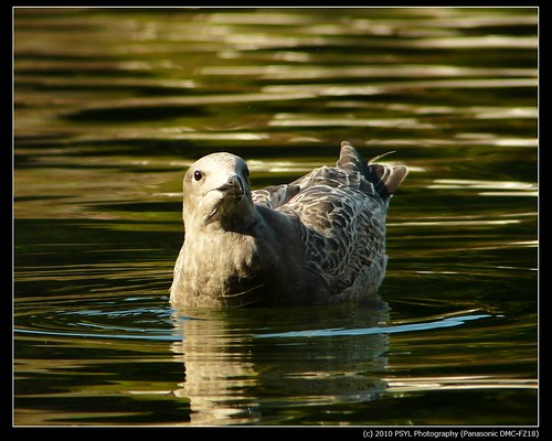 Young unknown Gull (Laridae)