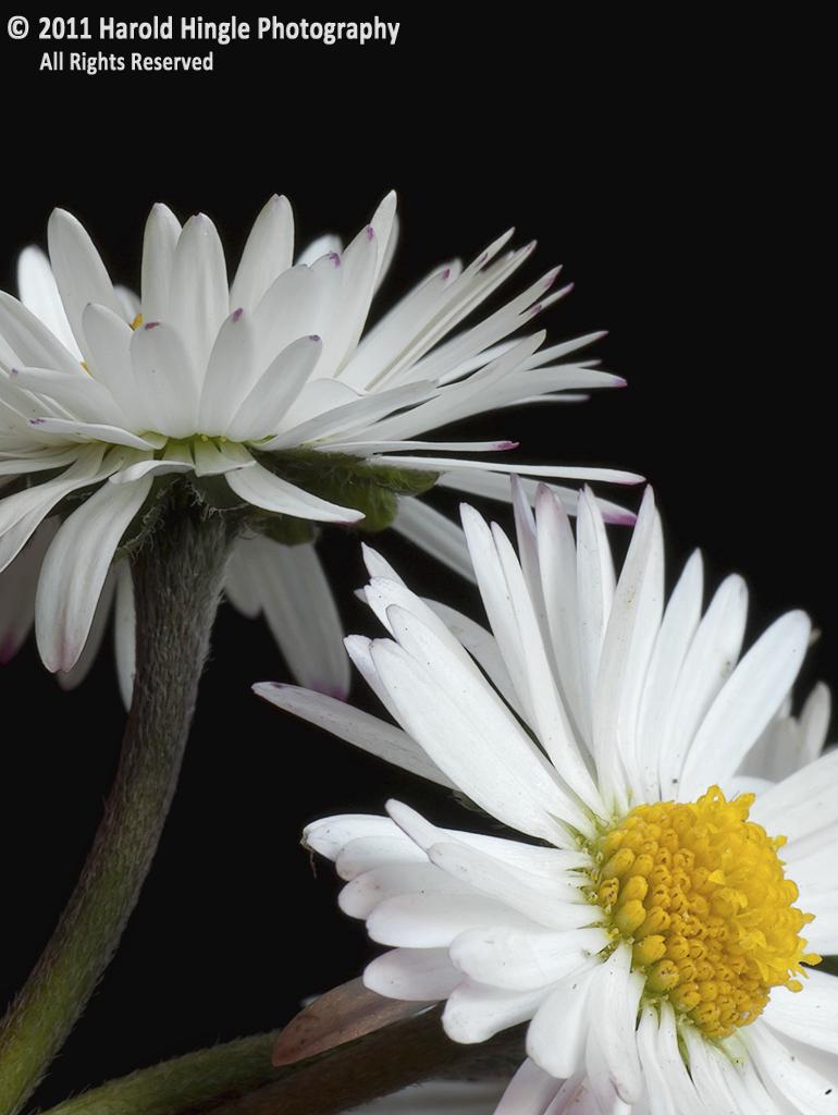 Chamomile Flower #13