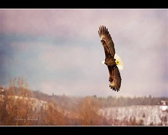 another fly-by (Nancy Rose) Tags: trees wild sky bird nature clouds flying wings novascotia eagle wildlife flight baldeagle soaring wingspan wonter eaglewatch sheffielsmills