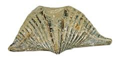Brachipoda   Mucrospirifer   thedfordensis   Middle   Devonian   Arkona   Ontario   Canada   2.jpg (ShutterStone.com) Tags: ontario canada middle devonian 2jpg arkona mucrospirifer brachipoda thedfordensis