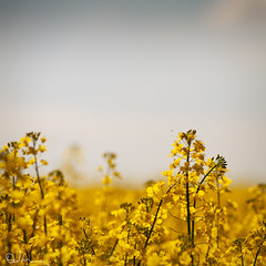 Dreaming of Spring (David Hannah) Tags: plant field yellow golden scotland petals spring focus bokeh warmth seed rape crop falkirk rapeseed bonnybridge welcomeuk