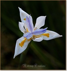Iris (~♥~NatSnap~♥~) Tags: iris flora flowers bloom nature ornamentalflowers whiteflowers macroflower bokeh cafeelite