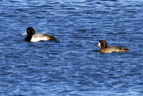 pair greater scaups cape cod