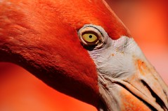 He had his eye on me (tammyjq41) Tags: pink bird eye flamingo birminghamzoo d300 tjd specanimal